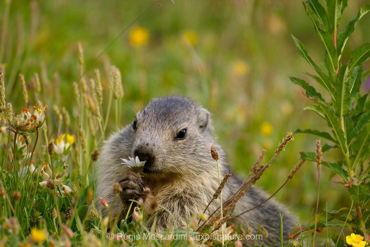 On peut faire un portrait de marmotte au 200 mm. Pentax K100 | 210 mm | ISO 200 | f/5.6 | 1/250 sec